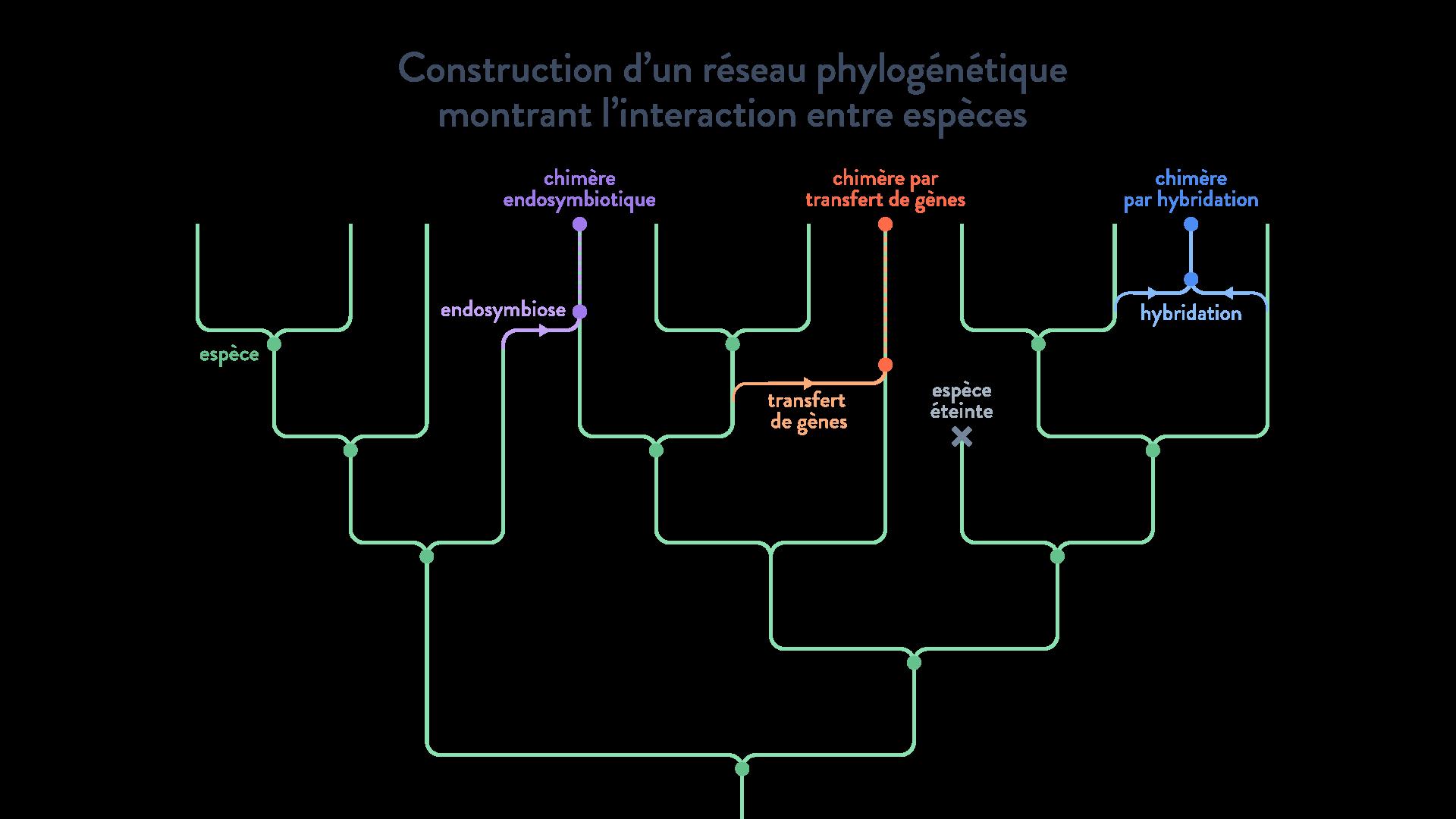 réseau phylogénétique génomes transferts horizontaux