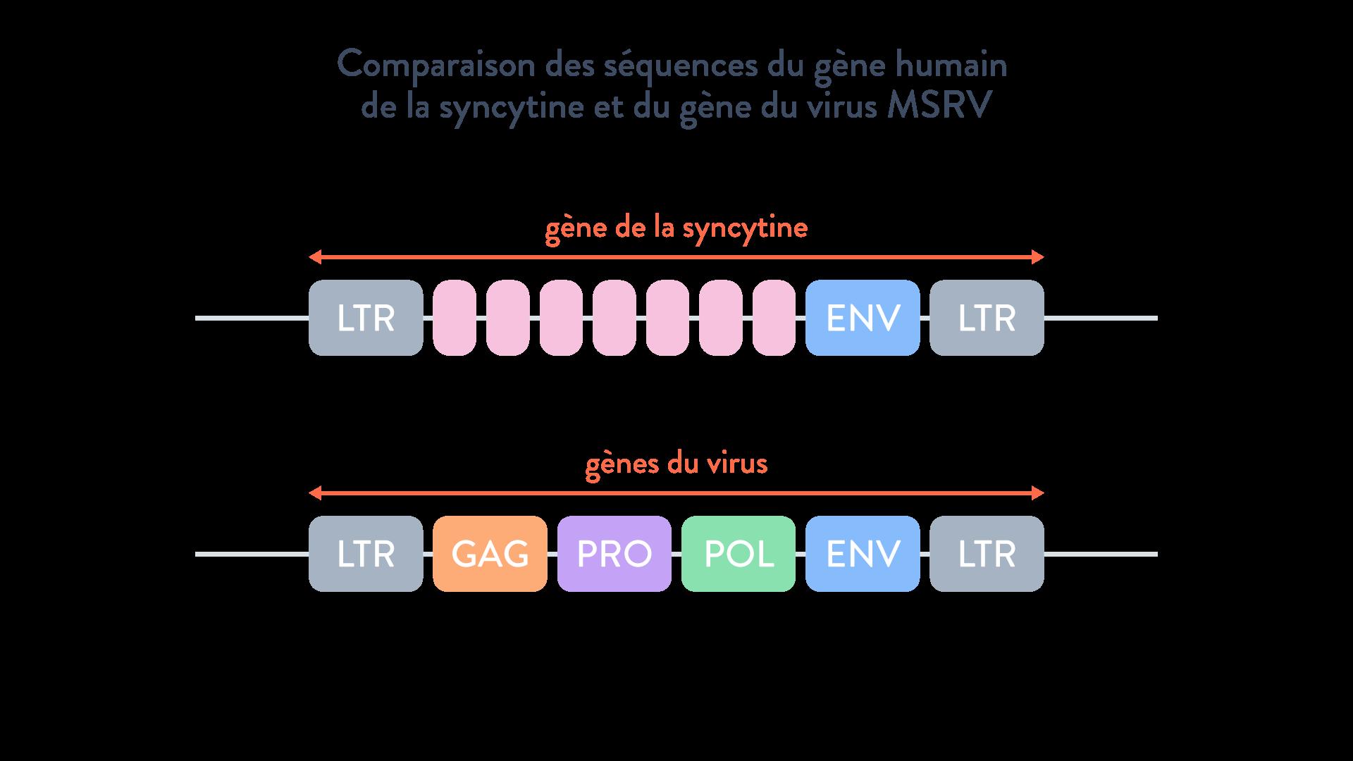 gène syncytine virus MSRV transfert horizontal