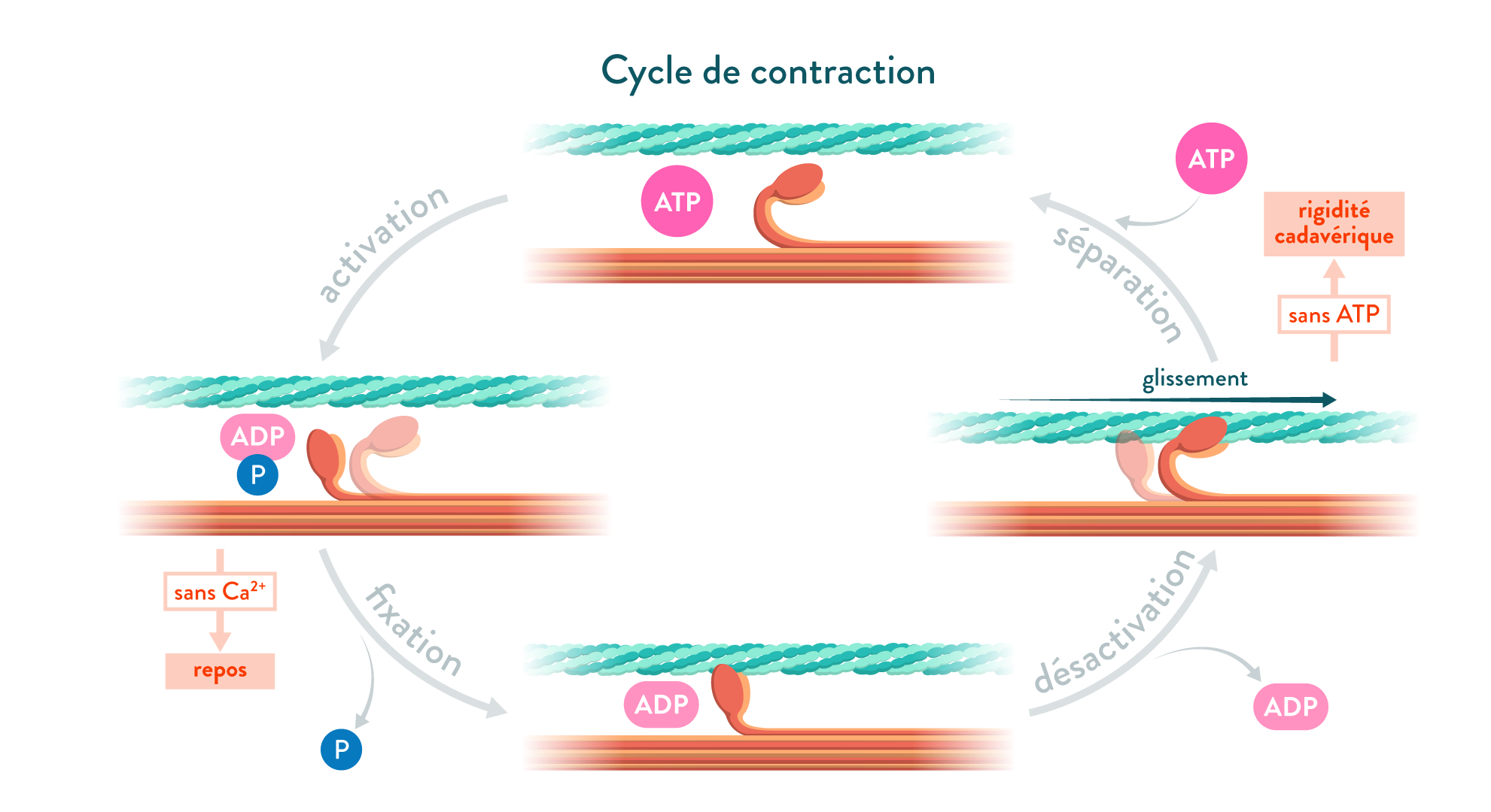 Étapes du cycle de contraction