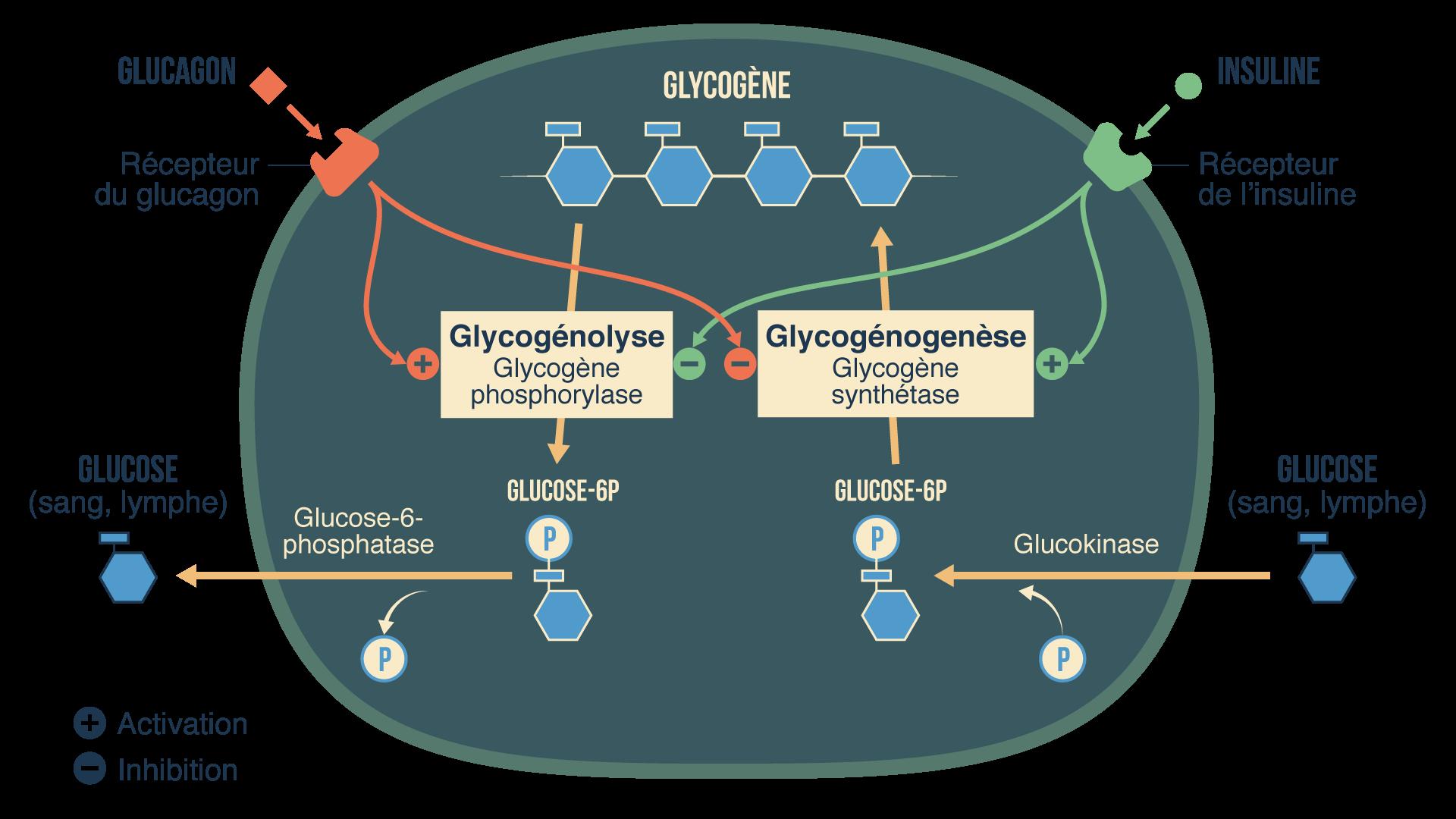 Fonctionnement des cellules du foie régulation glycémie