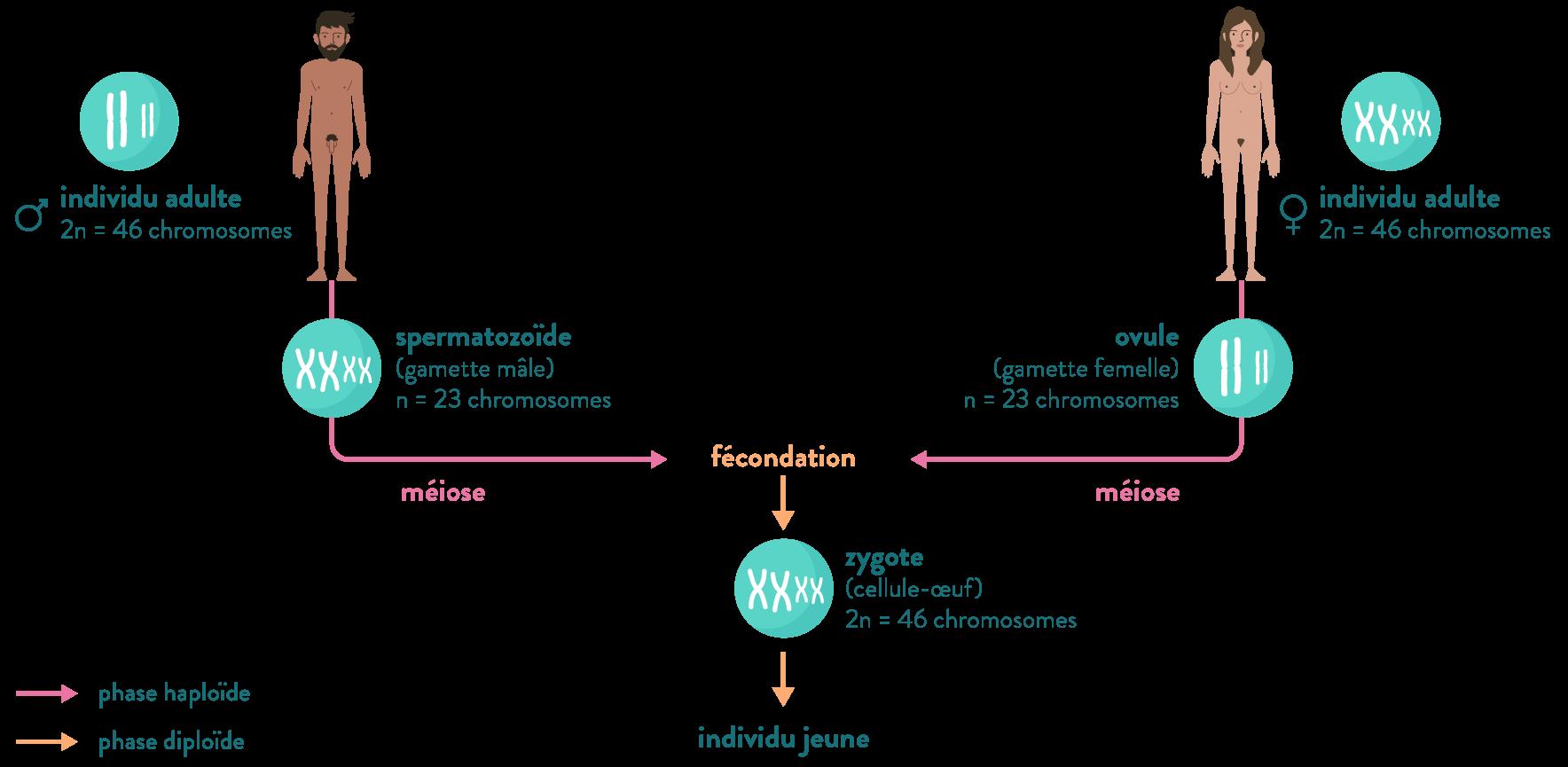 reproduction sexuée étapes méiose