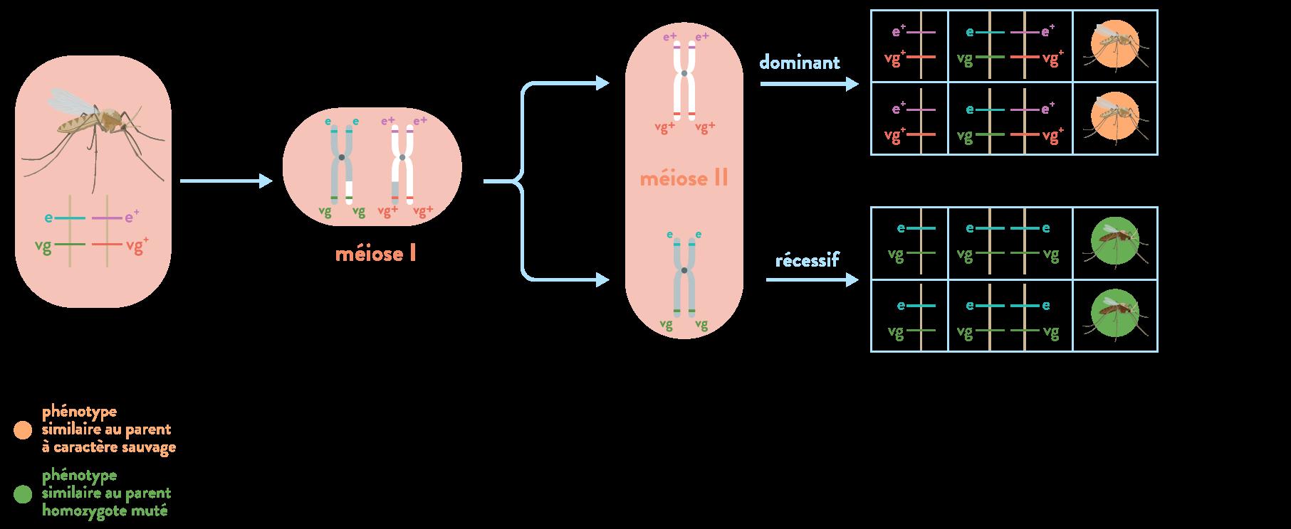 Recombinaison allélique méiose diversité génétique