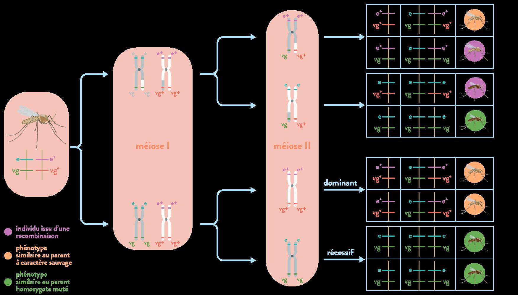 Divisions méiotiques diversité génétique