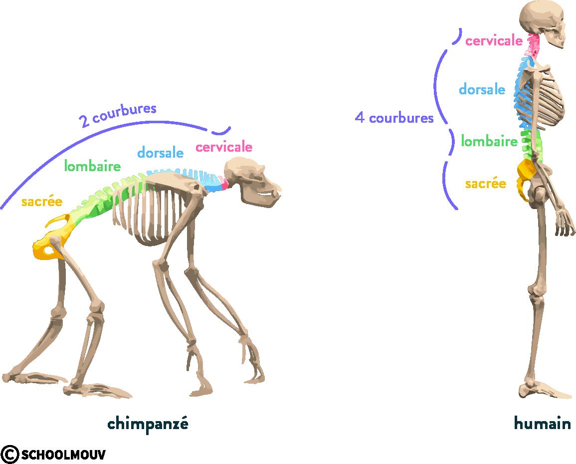Schéma de la colonne vertébrale de l'Homme et du chimpanzé évolution