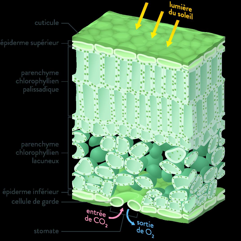 vue en coupe d'une feuille photosynthèse