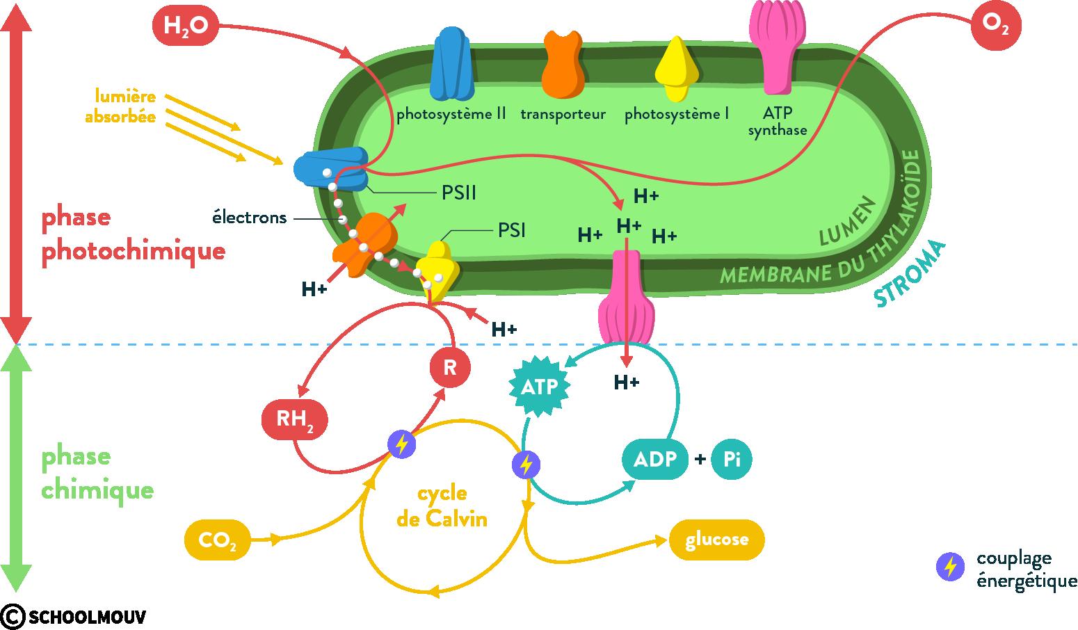 Déroulement phase photochimique et photosynthèse